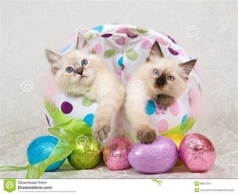 cat easter wallpaper 2 ragdoll kittens in easter egg stock photo image 8961376