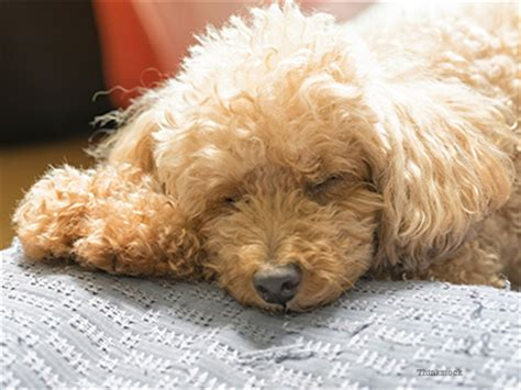 low blood sugar in puppies canine hypoglycemia a lack of sugar in the
