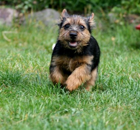 housebreaking a yorkie in 5 days norwich terrier breed guide learn about the norwich terrier