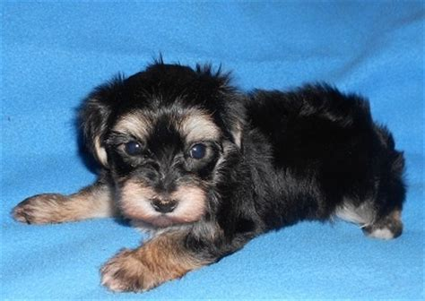yorkie puppies for sale in detroit michigan 45 best images about morkie on morkie puppies for sale yorkie and play mate