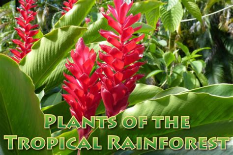 plant in tropical rainforest plants in the tropical rainforest pictures facts information