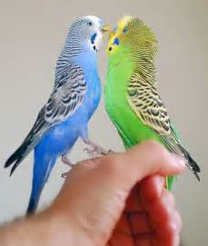 Pairs of budgerigar for sale