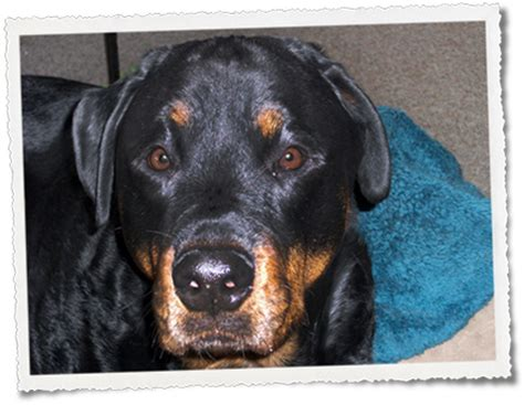 rottweiler stories malignant histiocytosis stories rottweiler sson