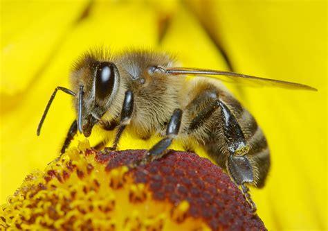 insect pollinators mrs apis mellifera