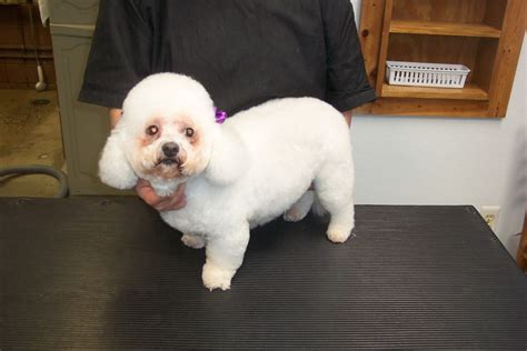 bichon frise puppy cut grooming photo library pet motel and salon