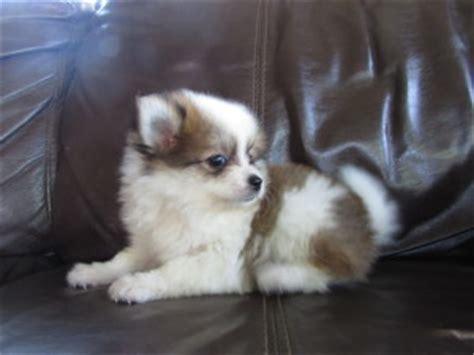 brown and white pomeranian puppies pomeranian brown and white puppies