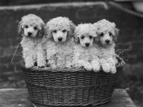 white poodle puppies 32 beautiful white poodle photos and pictures