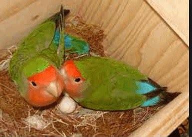 Pakan Lolohan Indukan Lovebird panduan cara ternak lovebird koloni untuk pemula