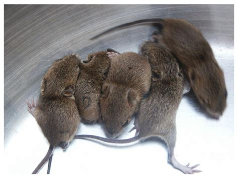 what do you feed baby mice image search results
