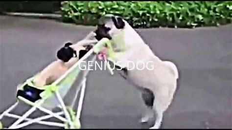 how smart are pugs pushes the stroller the smart pug is at pushing strollers