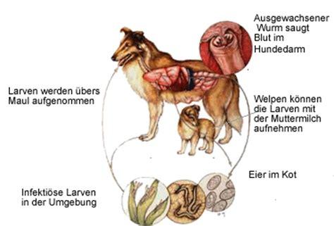 blut im stuhl bei welpen hakenw 252 rmer bei hunden lassen sie den kot untersuchen