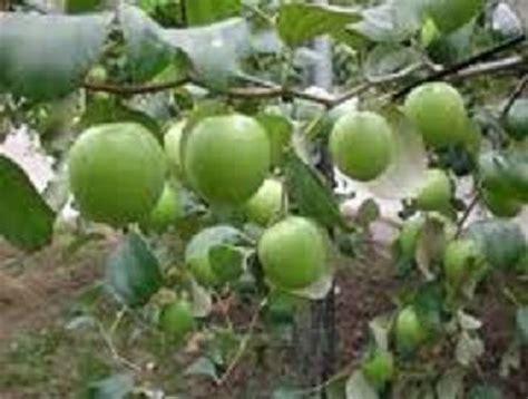 Jual Bibit Buah Apel India dinomarket pasardino bibit apel india putsa
