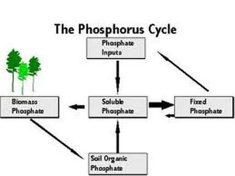 phosphorus cycle diagram and explanation 7 best images of soil phosphorus cycle diagram