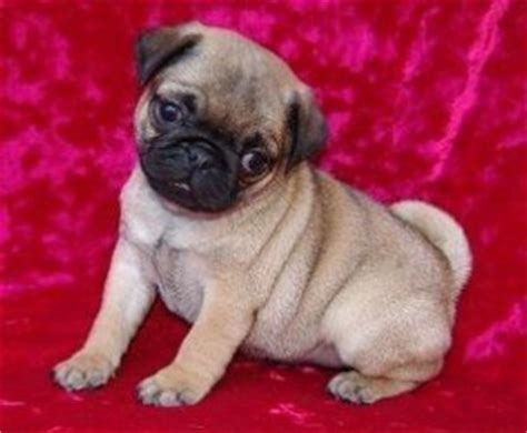 pug breeders in alabama pets dothan al free classified ads