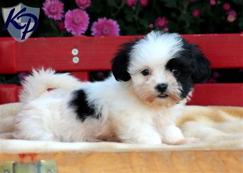 malshi puppies for sale in pa 1000 images about malshi and other maltese mixes on for dogs pictures of