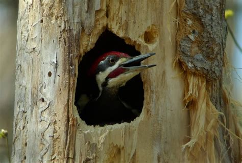 bill of the birds on blogspot finding a pileated