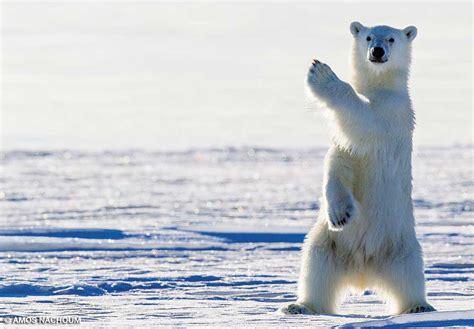 libro polar bear polar bear do polar bears cover their nose polarbearfacts net