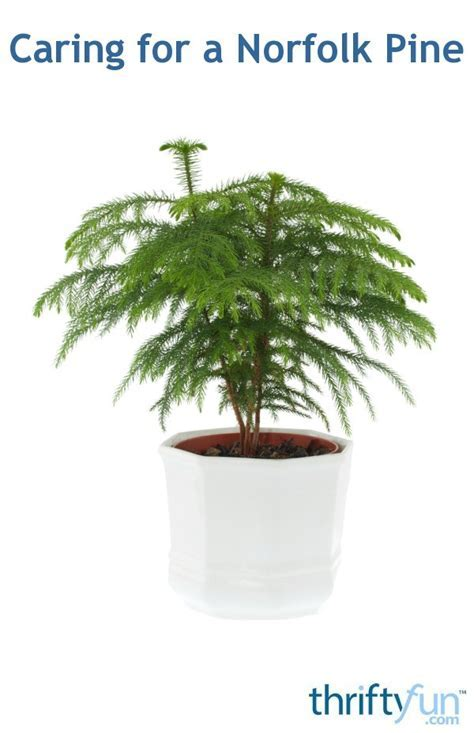 Caring for a Norfolk Pine   ThriftyFun