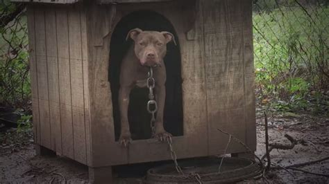 pitbull dog houses saved theresa dogblog com