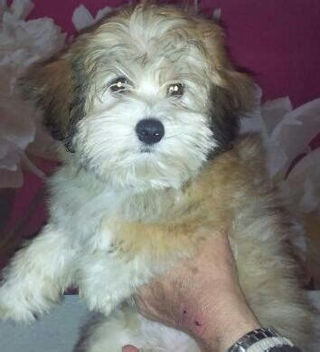 kennel club havanese adorable kennel club registered havanese pups atherstone warwickshire pets4homes