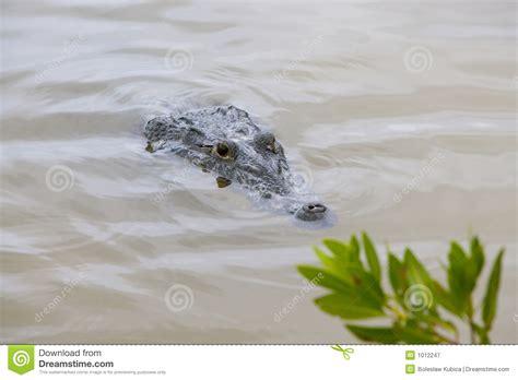 alligator  crocodile hiding   muddy water stock