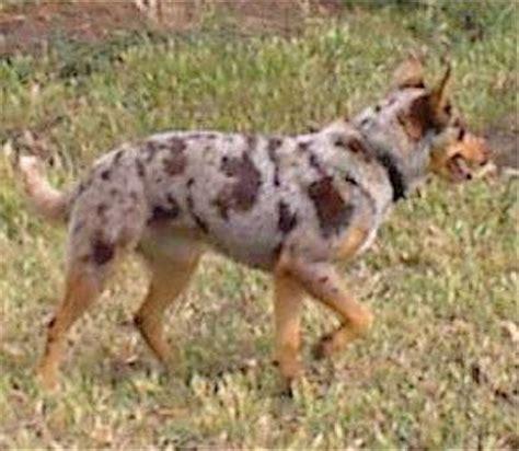 koolie puppies for sale australian koolie german cooliekoolie breed information breeders breeds picture