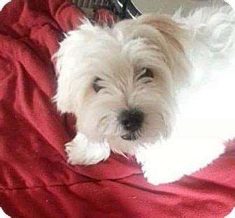yorkie rescue manchester manchester nh maltese yorkie terrier mix meet a for adoption