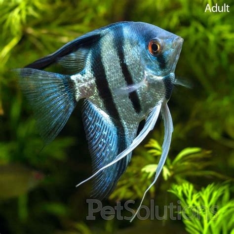 freshwater fish pictures of freshwater angelfish gt live aquarium
