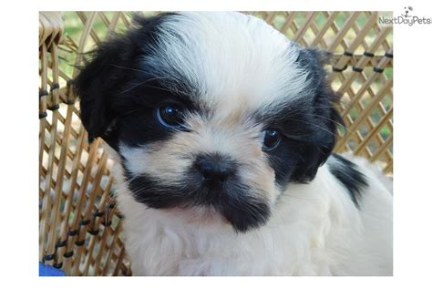 shih tzu for sale in mo mustache m black white shih tzu for sale in springfield mo 4351602253