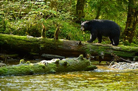 Deigning by Spirit Bear Photography Amp The Great Bear Rainforest Debra