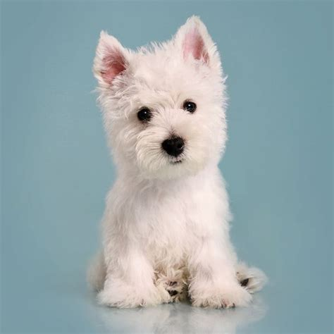 westie dogs westie puppy so my boy puppy dogs of mine
