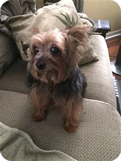 smokey the yorkie the villages fl yorkie terrier meet smokey a for adoption