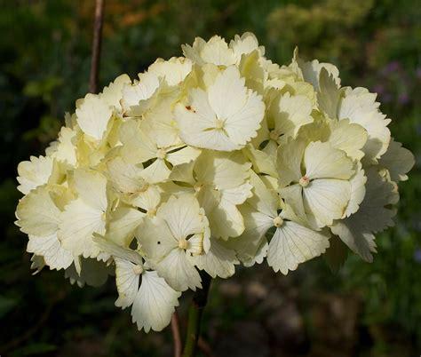 sunlight l for plants plants flowers 187 hydrangea chungii