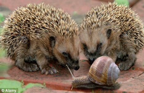 not so different finding human nature in animals books how do hedgehogs mating rituals from the animal