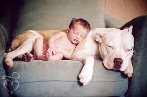 newborn pitbull puppies newborn pit bull baby portrait pretty things pinte pitbulls litle pups
