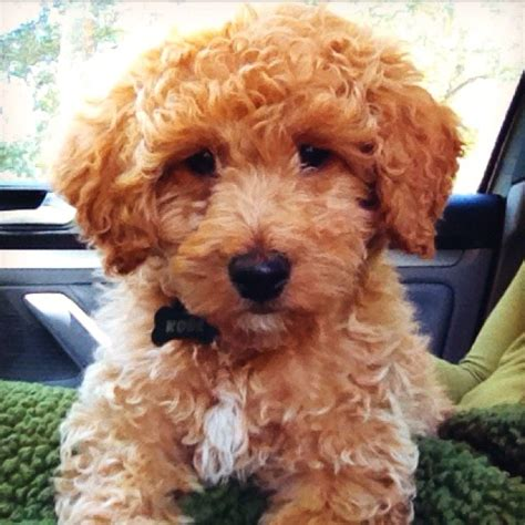 mini goldendoodles new my sweet new baby a mini golden doodle dogs
