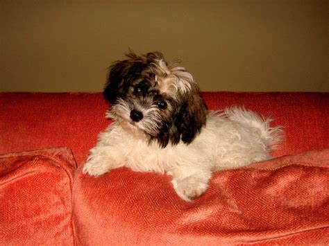 valerie zalman havanese valerie zalman havanese puppies for sale