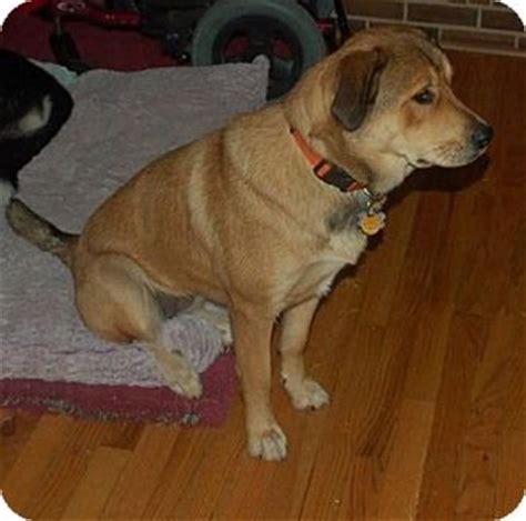 rottweiler and great pyrenees mix albemarle nc great pyrenees rottweiler mix meet cahra a for adoption