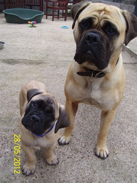 bull mastiff puppy 25 best ideas about bull mastiff puppies on bull mastiffs