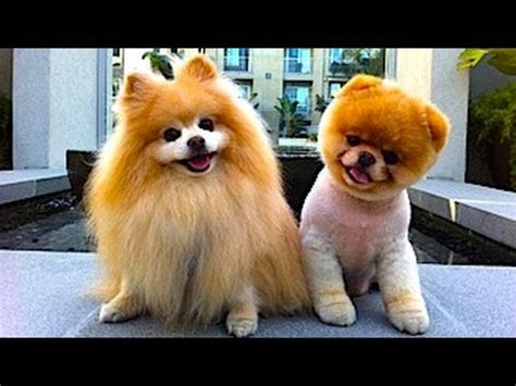 cutest in the world pomeranian baby pomeranian cutest puppies in the world