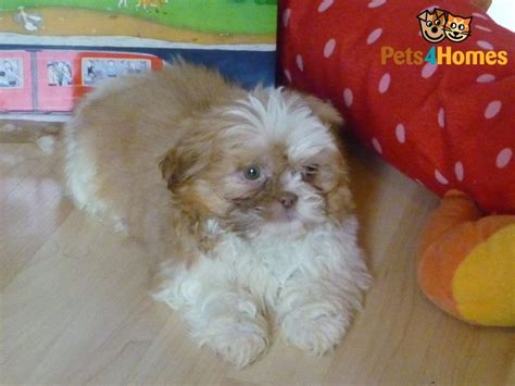 apricot shih tzu apricot micro imperial shih tzu enfield middlesex pets4homes