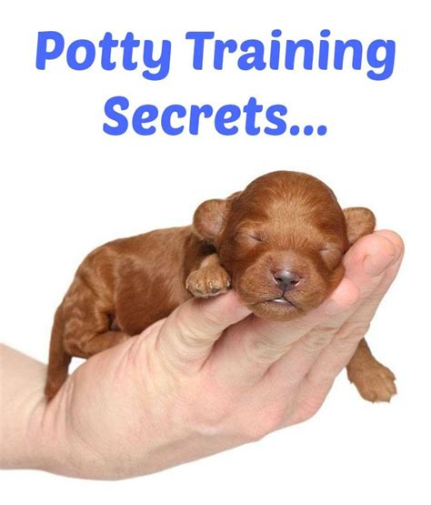 yorkie potty techniques 502 best images about beautiful dogs on beautiful dogs poodles and spaniels