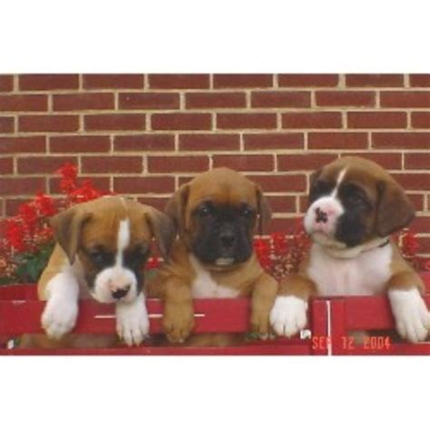 free boxer puppies in pa boxers from pennsylvania