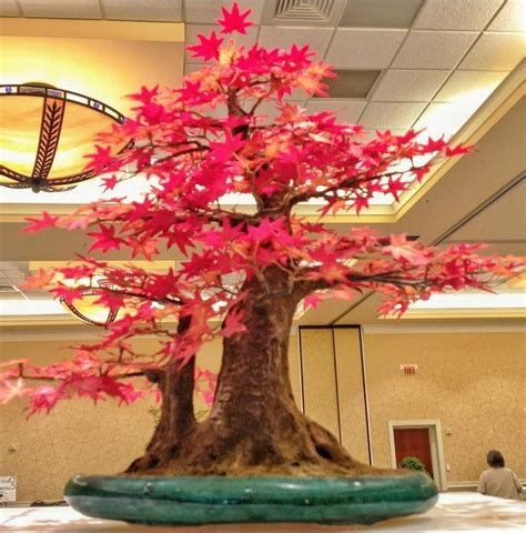 Bibit Bonsai Maple jual bibit maple jepang inazuma tree maple pohon maple