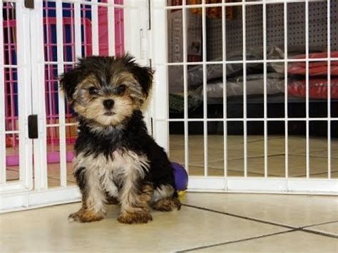 yorkie puppies for sale in denver terrier puppies for sale in denver colorado co fort carson black