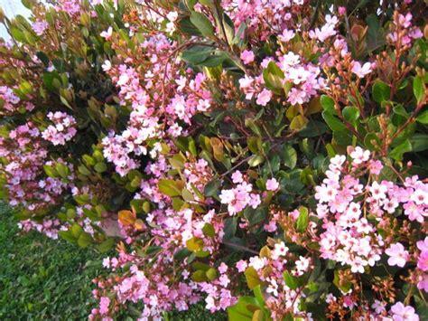 sale cutting pink flower like cherry blossom bush plant garden leaf gardening home hardy