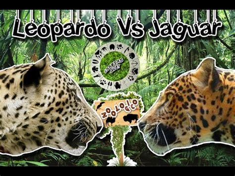 imagenes de jaguar y leopardo diferencias entre leopardo y jaguar notas la biogu 237 a
