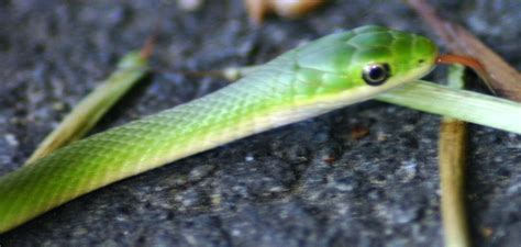Green Garden Snake by Baby Green Garden Snake Www Pixshark Images Galleries With A Bite