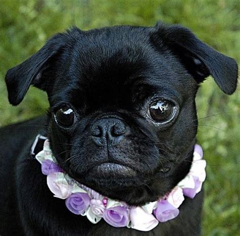 buy a pug puppy 56 best black pugs are the best images on black pug doggies and pug dogs