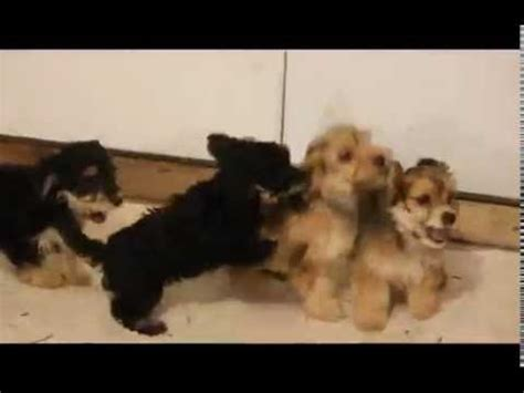 dachshund mix puppies for sale a4952752 wirehaired dachshund terrier mix puppy funnydog tv
